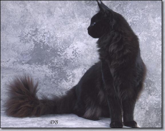 Our Maine Coon Cats - Females