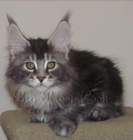 Big River Coon - Maine Coon Cats & Kittens Available Kittens